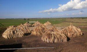 ivory burning pile